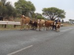 Cows by the road, Namibia