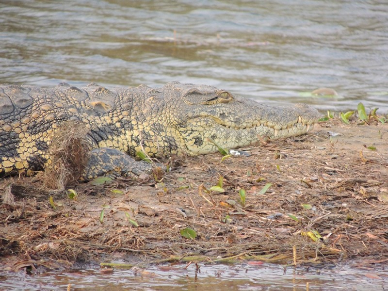 one very relaxed crocodile