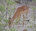 Wildlife in Namibia in the Caprivi strip