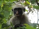 In Janzani forest, blue ? monkey, Zanzibar