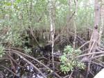 Mangroves, Janzani forest, Zanzibar