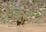 Weaver birds on the ground.