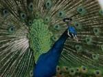 Peacock in Eldoret, Kenya