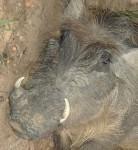 The wild tame warthog, Murchisson national park, Uganda