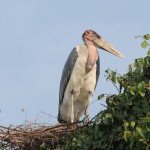 Forgot his real Stork name, Murchisson Falls, Uganda.