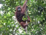 Orangutan. I was lucky. But camera focused on leaves.