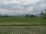 Paddy field!