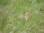 Mongolian animal...what is it?
