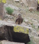 Bird of prey, far away on a rock, itching to get the mutton being cut up. Mongolia.