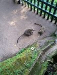 Coati fighting