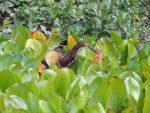 Tiger Heron in the Pantanal