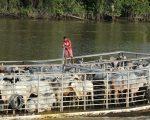 Cattle on a boat, near Belem.