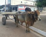 Bullock in Maranhao state