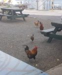 All places on Raratonga have chickens runnng in and out...especially cafes.