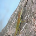 Leopard Anole from Giadeloupe