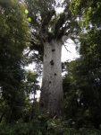 Giant Kauri tree, 2,000 plus years old. Kauri wood was used by Britain for its masts and spars  on sailing ships in 1800's.
