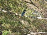 Kingfisher at Julian's