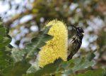 New Holland honey eater on Banksia.