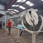Whale skeleton of Blue whale.Albany.
