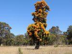 Australian Christmas tree.