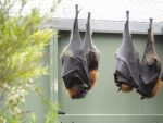 Flying foxes at a small zoo., Albany.